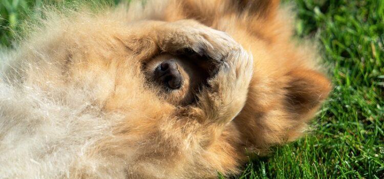Szczepienia psa – obowiązkowe i zalecane